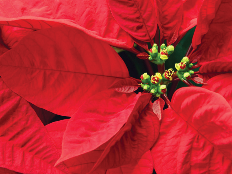 Choosing Holiday Poinsettias