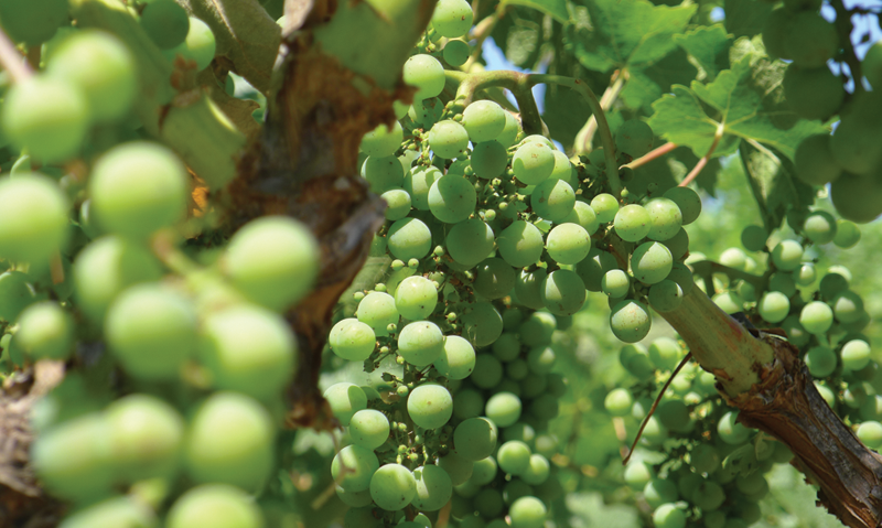 Grape Pruning 101