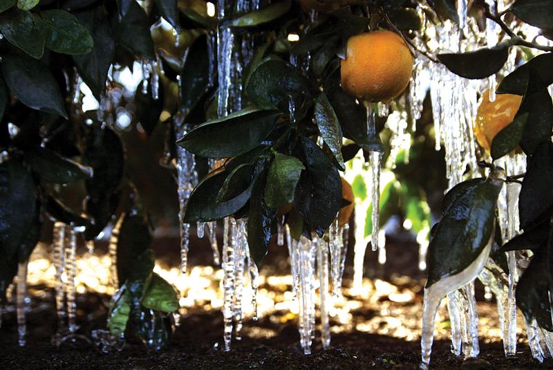 Citrus survives 5-day freeze