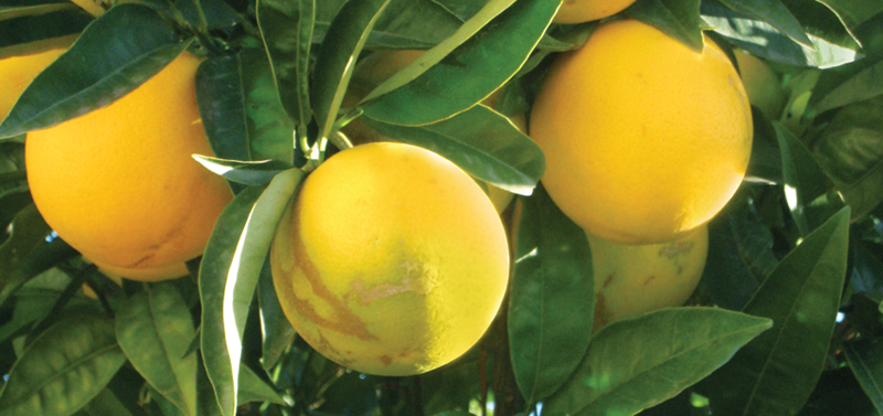 Save Our Citrus: The Fight Against Citrus Disease Begins In Your Own Backyard