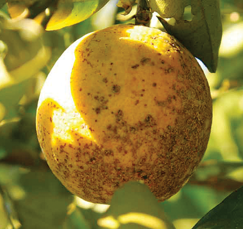 Citrus industry sends out SOS for new disease