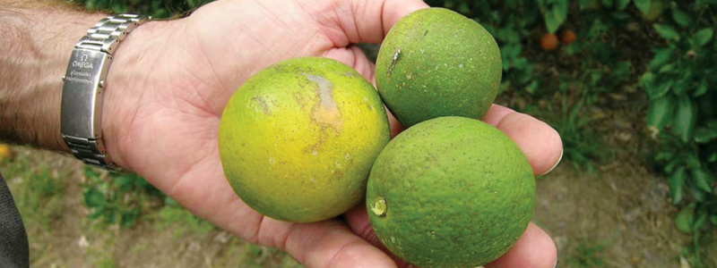 Citrus disease spreads in SoCal