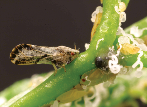 ACP found in Tulare County, HLB disease not found