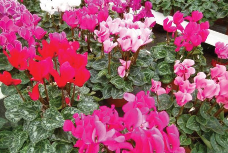 Gardening Guru: Add Some Cheer with Cyclamens