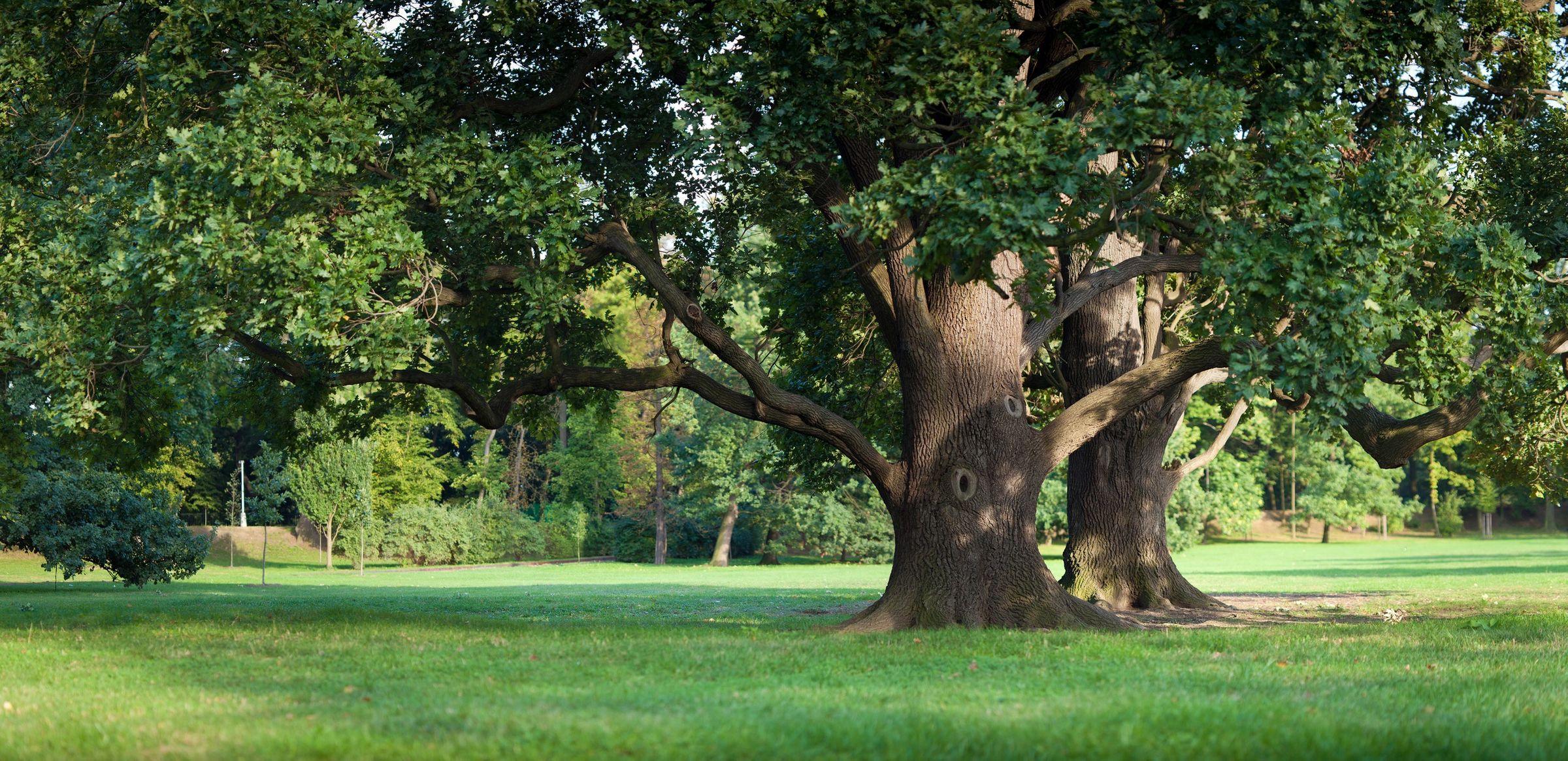 Visalia gets to root of oak tree rules – The Sun-Gazette