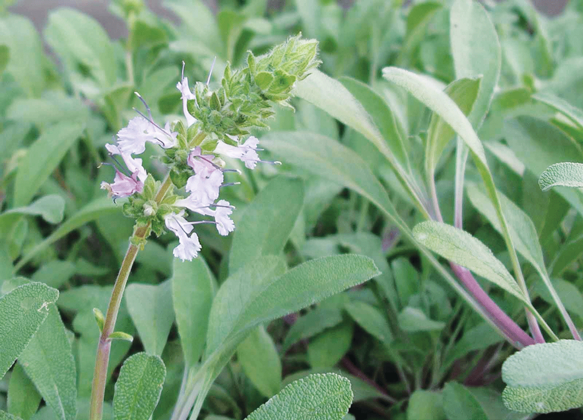 Maintenance For Mature Salvias In The Water Wise Garden