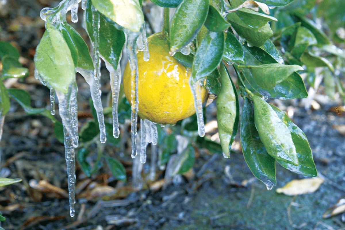 Valley citrus growers are cool with freezing temps