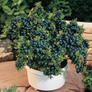 Blueberries in a pot. Photo courtesy of ucanr.edu.